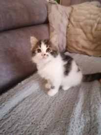 Very beautiful adorable fluffy kitty for sale (male)