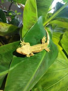 2 Femelle Geckos à crête