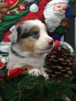 Adorable Toy Aussie Puppies Just in Time for Christmas