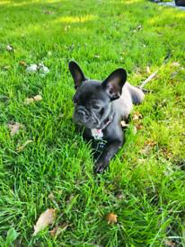 French bulldog 4 months old female