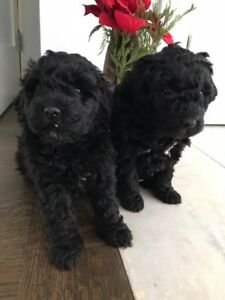 Puli puppies for sale! Beautiful pure breed dogs