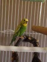 Budgie looking for perfect home