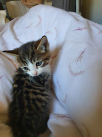 Kittens from bengal tabby x mum ‼️only one left ‼️