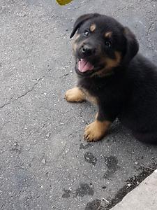 European Rottweiler puppies (purebred) -