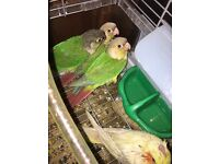Parent Reared greencheek and cinnamon conures £75 AVAILABLE
