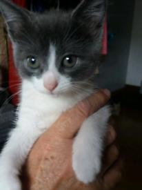 Female Kitten **pending Collection**