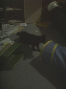 I found a cat black/brown tail I think it's a male but not sure.