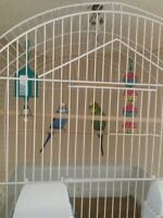 Free budgies in Penticton!