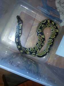 2 ball python morphs and huge tank