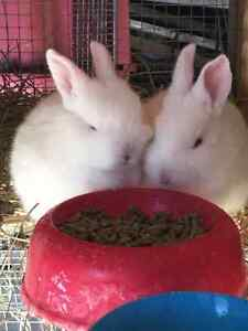 PUREBRED NEW ZEALAND WHITE BABY BUNNIES