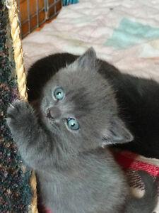 Munchkin / Rag Doll Kittens