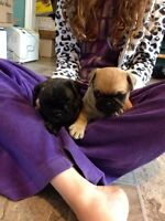 ***SOLD***2 bugg puppies looking for their forever families!