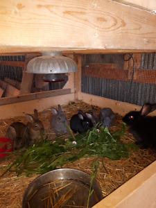 Purebred Rex rabbits.