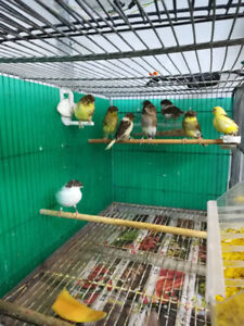 ALL SOLD OUT Gloster Canaries