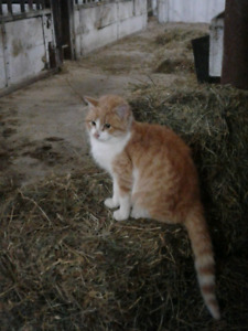Found sweet male cat Ormstown