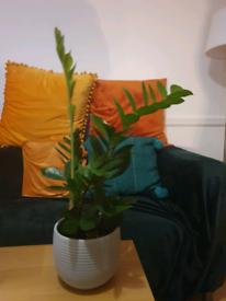 Interior plant Zanzibar gem + pot