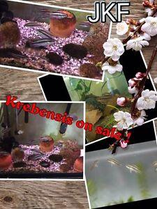 Krebensis Cichlid fish  for sale ( JKF)