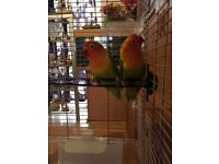 Fischer lovebirds