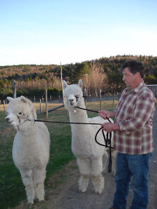 alpacas for sale, from a herd