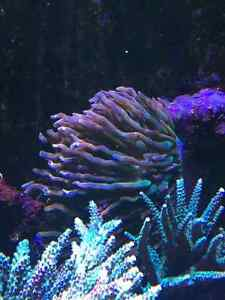 Rose Bubble tip anemone