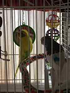 For sale 3 budgies