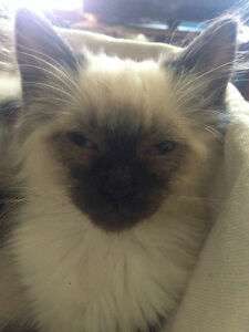 Pure RAGDOLL.Cuddle up with your own cuddly soft fluffy fur baby