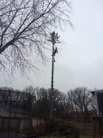 Insured Tree Removal! DISCOUNT till March 31 on Spruce trees