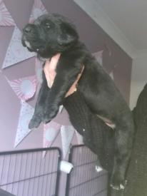 Caucasian Ovcharka x Bully Kutta (mastiff)