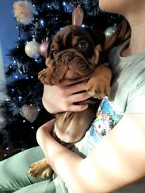 Englishbull dog kc