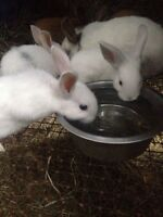 (2) 8 wk old male bunnies