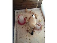 Young chickens for sale