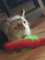 Ragdoll cross cat