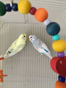 Two sweet and beautiful budgies