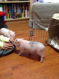 Small potbelly/mini cross piglets