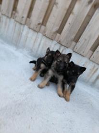 4 Beautiful German shepherd puppies