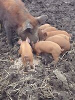 Pig Herd Person
