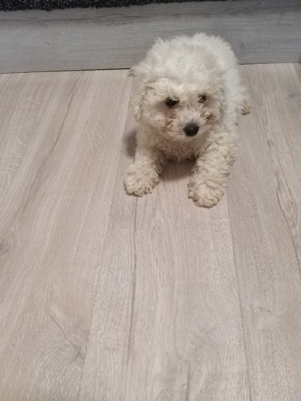Bichon frise | in Newry, County Down | Gumtree