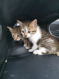 Litters Of Kittens Cats Kittens For Sale Gumtree
