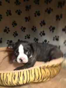 Boston Terrier - Brindle Males Ready July 29 -  Otis and Oscar