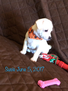 Chihuahua Puppies for Sale in Sarnia