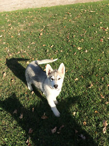 Two Female Sibrerian Husky/Shepherds for sale