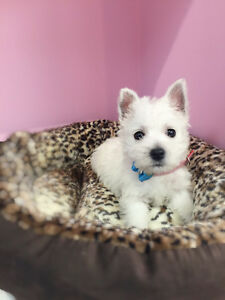 Beautiful West highland Terrier puppies for sale