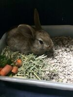 Female Bunny for sale!