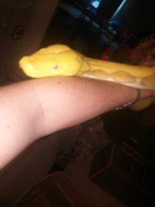 11 - 12foot male purple tiger retic very tame best offer