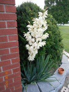 Small to Extra-Large Yucca Plants $1 each
