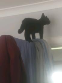 Kitten for sale £250