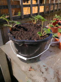 Strawberry plants in a bucket!!