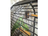 Two beautiful parrots for sale (alexandrine)