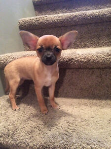 Female Chihuahua Puppy For Sale