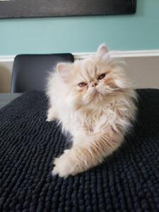 Chat persan a vendre ou a echanger pour une femelle
